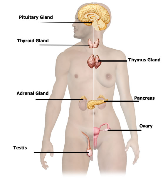 What's Behind Glandular Therapy