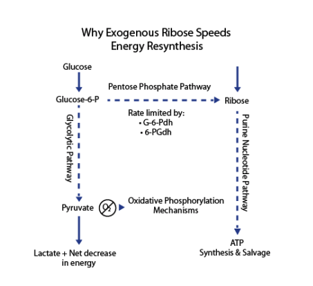 Exogenous Ribose Speeds Energy Resynthesis
